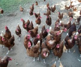 Costa Rica Free range Chicken