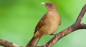 The Yiguirro, the national bird of Costa Rica sitting on a limb
