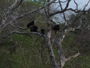 Howler Monkeys sitting in a tree in Costa Rica
