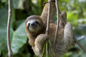 Costa Rica Sloth hanging in a tree