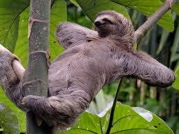 Sloth relaxing in a tree in Costa Rica