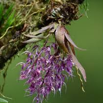 Costa Rica Orchid