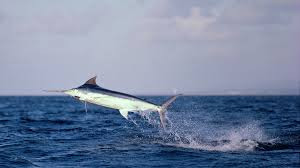 Swordfish leaps out of the water in Playa Hermosa area of Costa Rica