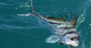 Catching Rooster fish off Playa Hermosa