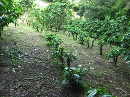 Costa Rica coffee fields