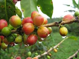 Coffee beans ripening and turning red