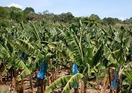 Banana plantation Costa Rica