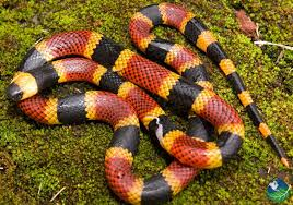 Coral Snake in Costa Rica