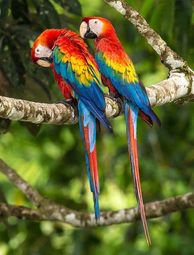 Birding Costa Rica features Scarlet Macaws