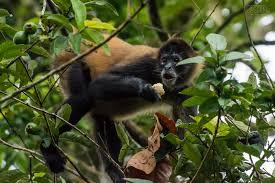 Playa Del Coco Monkey
