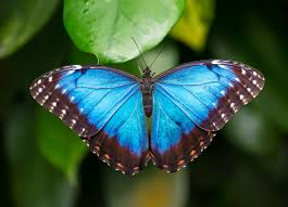 Morpho Butterfly costa rica