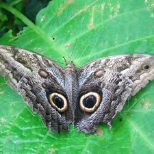 Costa Rica Owl butterfly