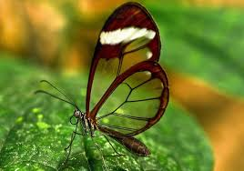 Glass winged