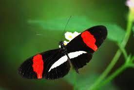 Playa Hermosa Butterfly