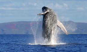 Whale breaching in the Pacific off Costa Rica