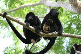 Playa Hermosa Monkeys