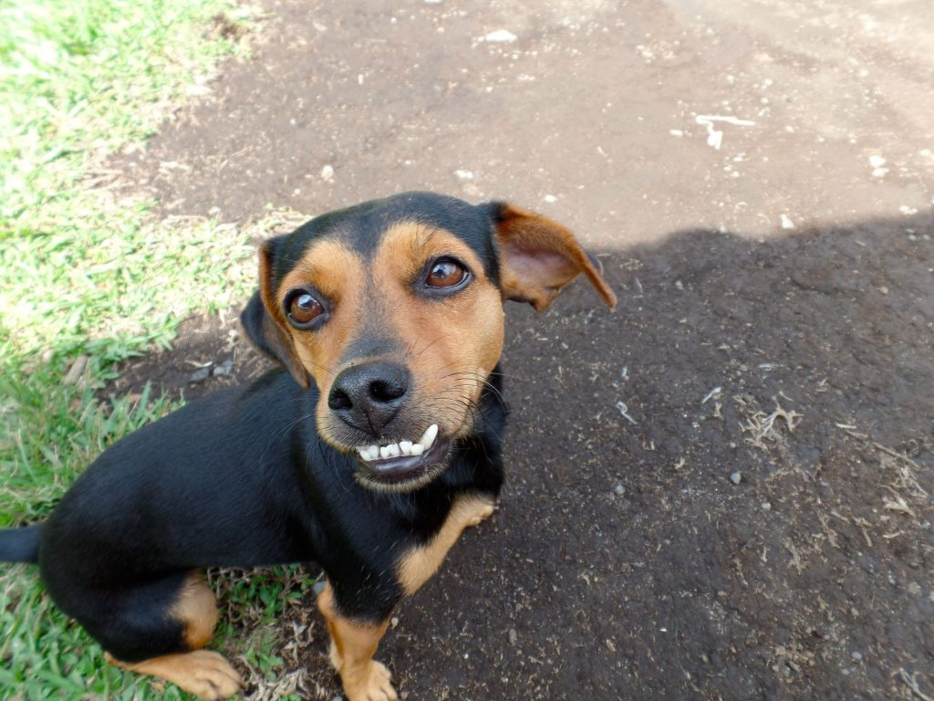 Street Dog (Zaguate) with a funny tooth