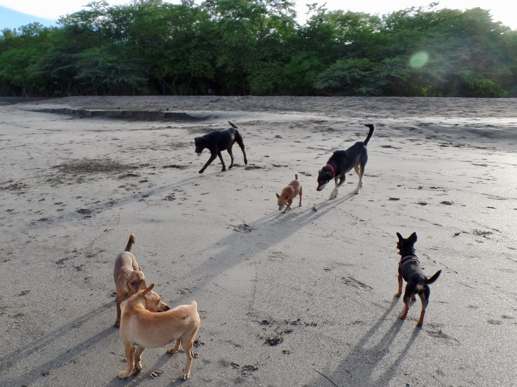 A group of Costa Rica Zaguates on the beach