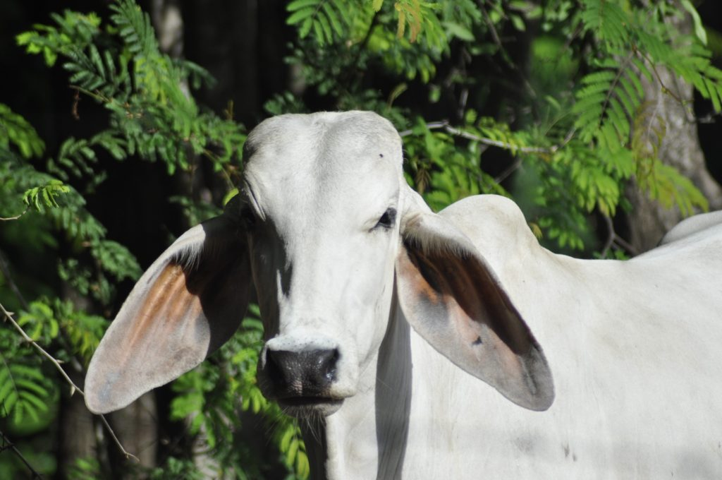 Costa Rica cattle
