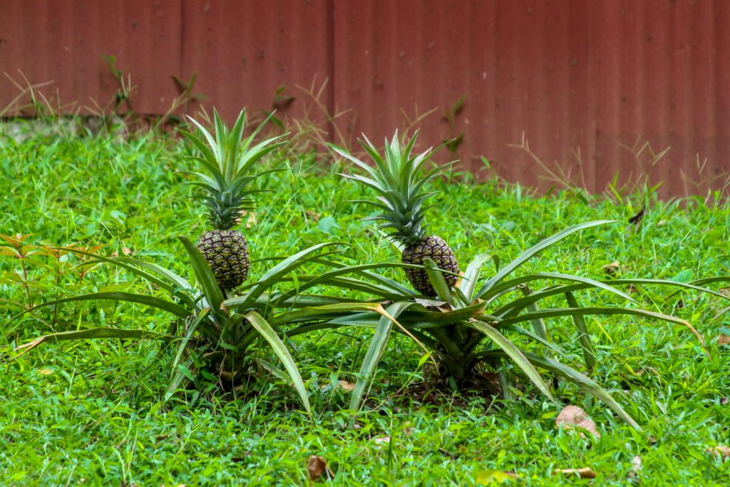 Pineapples - a major export of Costa Rica